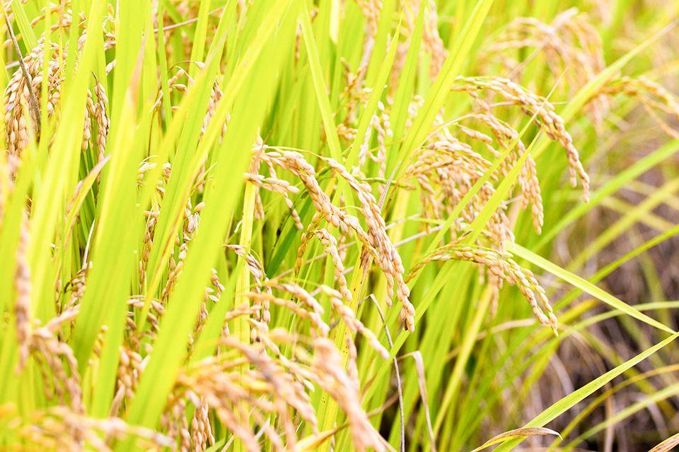 くさふじ米の稲