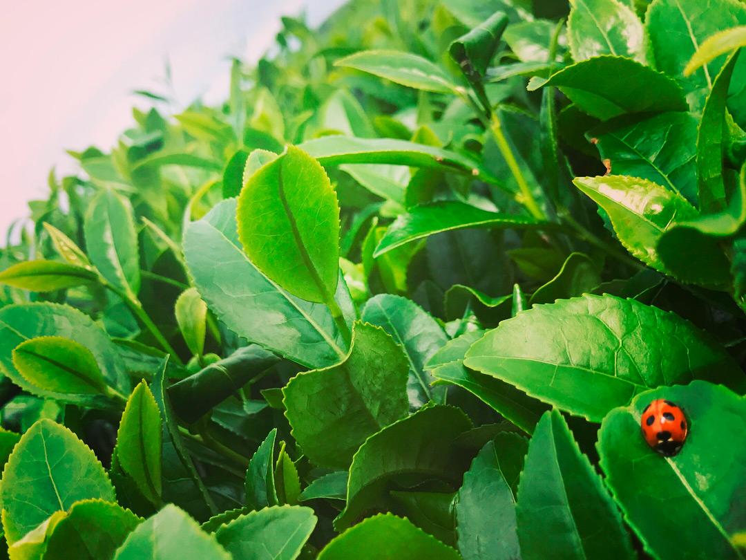 宮原茶園 自然栽培のお茶