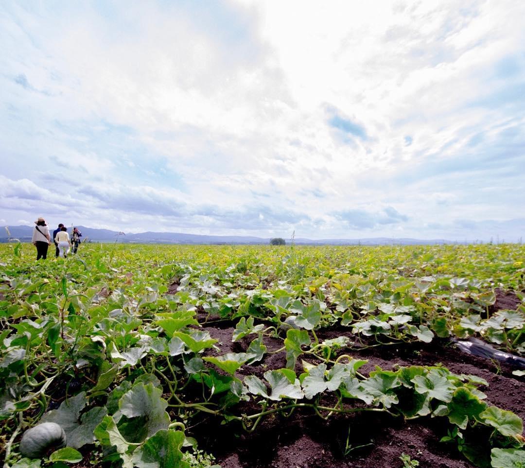 北海道 北見 カボチャ畑