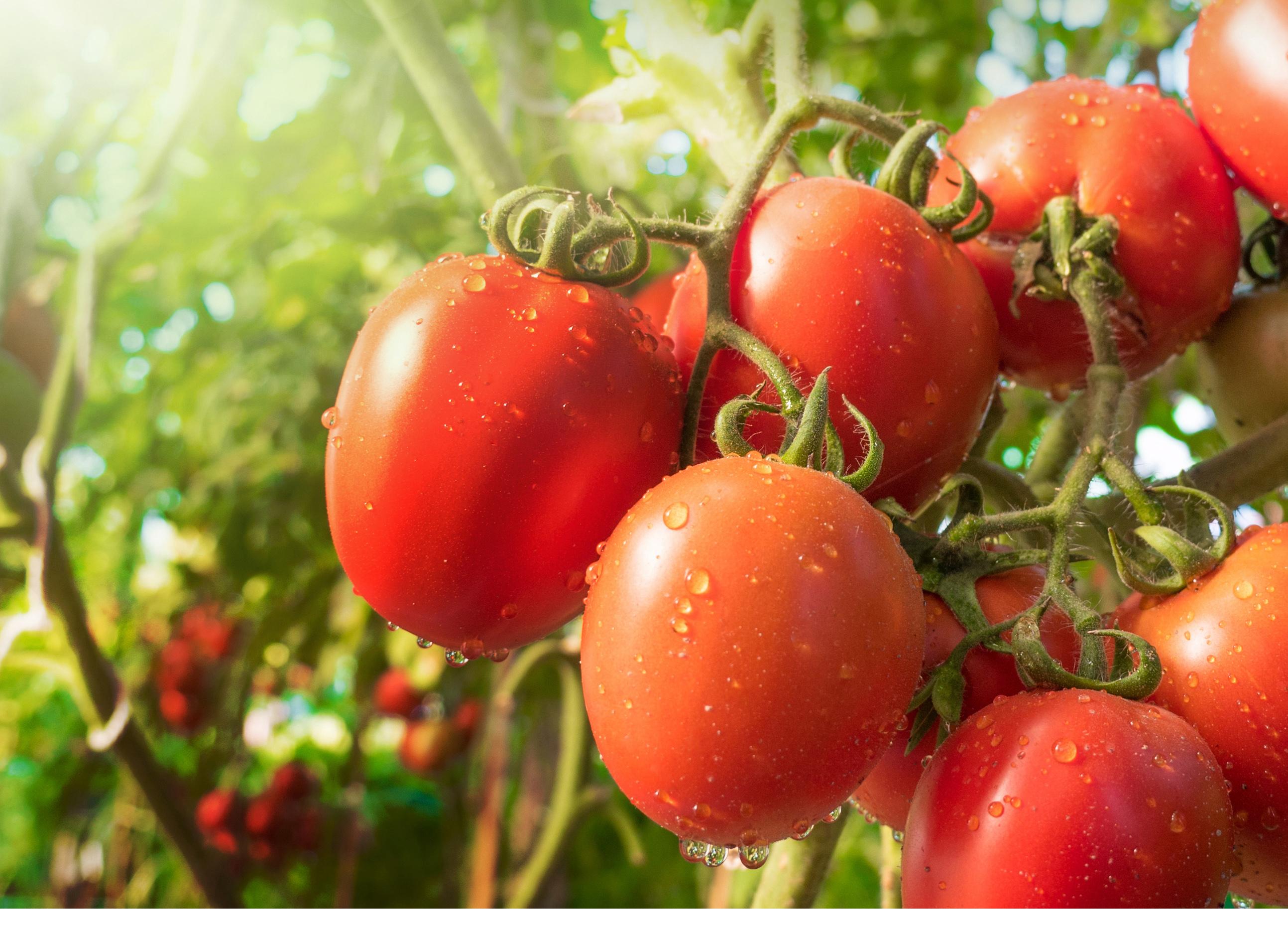 https://gelato-naturale.com/wp-content/uploads/2019/01/tomato9-2587x1871.jpg